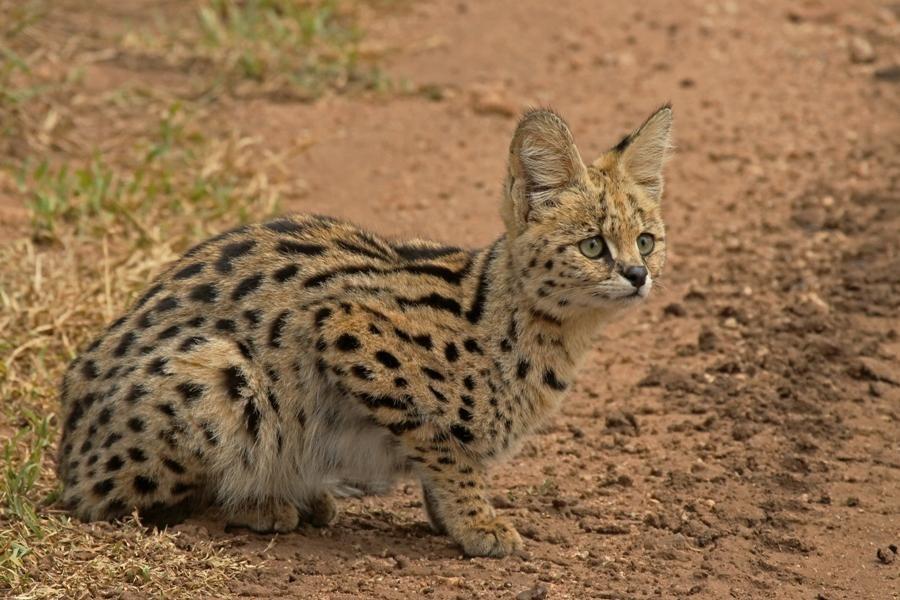 Serval (Felis serval)