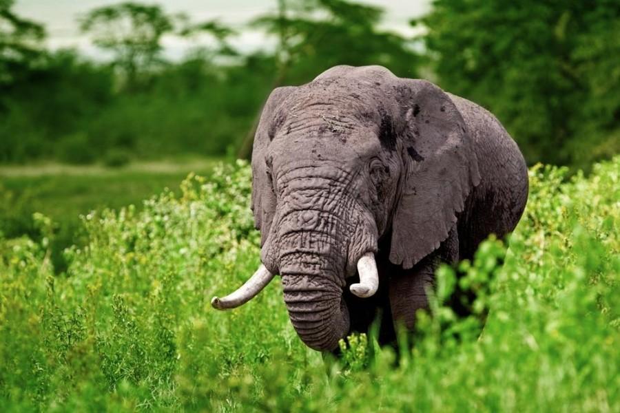 African Elephant (Loxodonto africana)