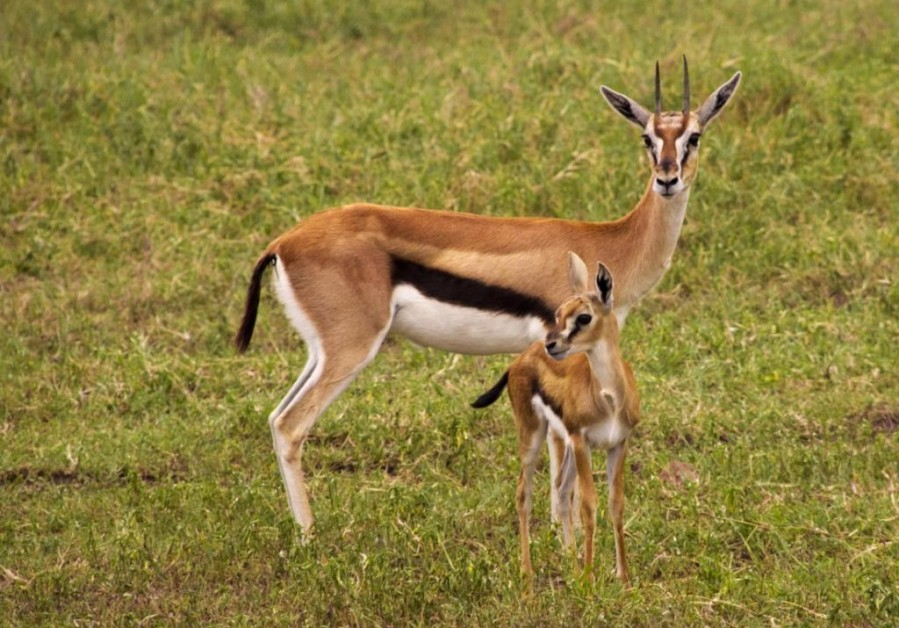 Thomson's Gazelle (Gazella rufifrons thomsoni)