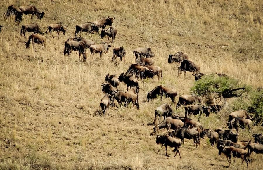 Wildebeests in Ngorongoro Crater
