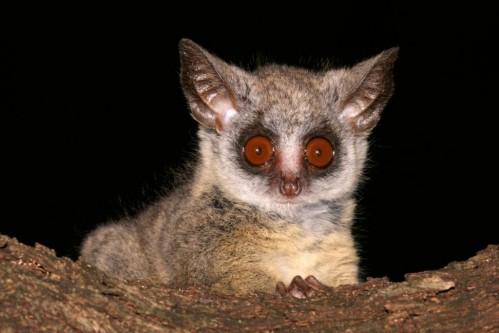Lesser Bush baby (Galago senegalensis)