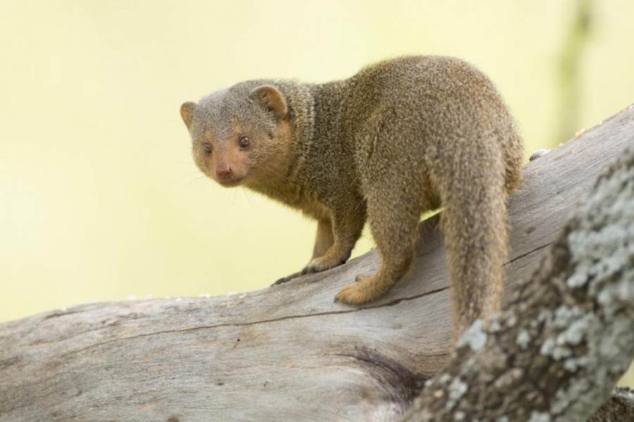 Common Dwarf Mongoose v Stoat (Short-tailed Weasel) - Carnivora
