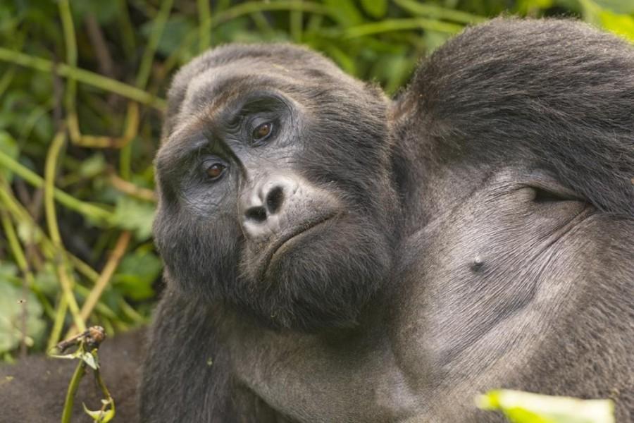 Three Day Uganda Gorilla Experience