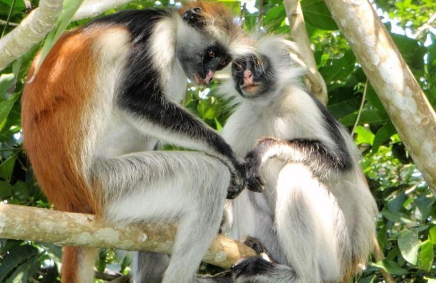 Zanzibar Jozani gozd