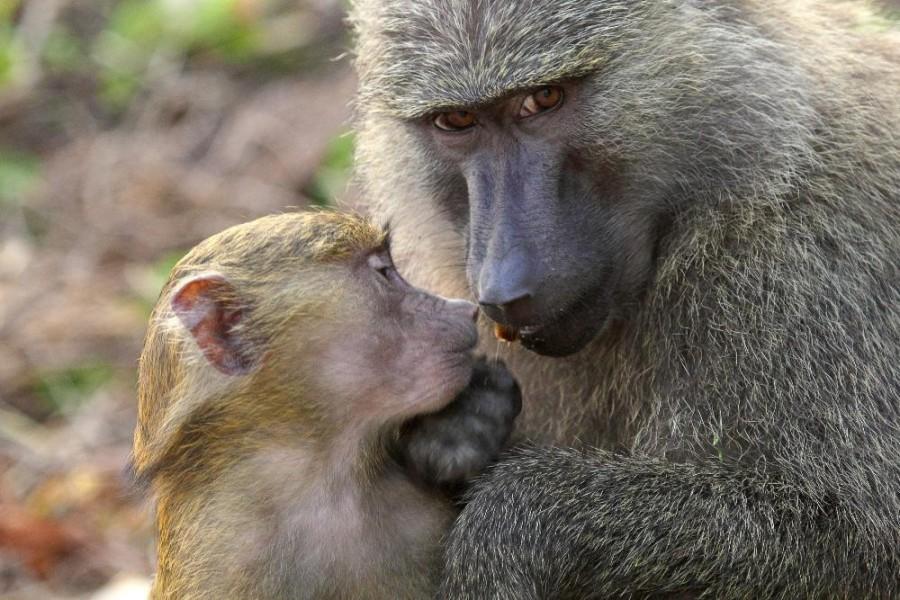 Safari to Gombe National Park - 4 days tour - western side of Tanzania