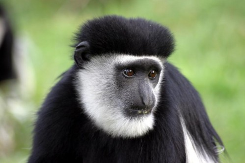 Black-and-white colobus (Colobus guereza)