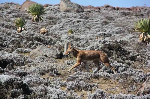Ethiopian Wolves