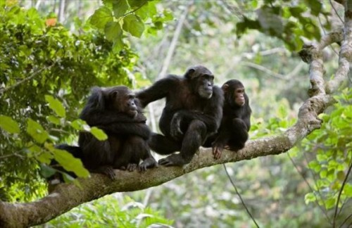 Chimpanzee tracking in Gombe - 5 days tour