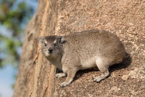 Rock hyrax (Heterohyrax brucei)