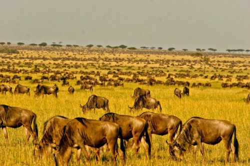Wildebeests in Serengeti National Park