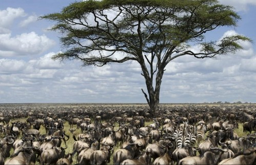 Amazing Wildebeest migration