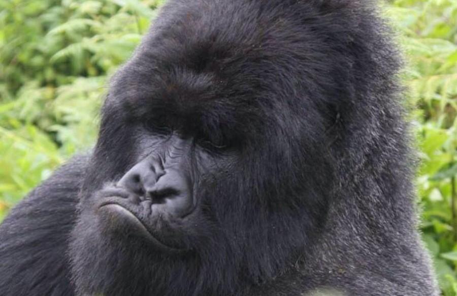 Дикое Сафари в Руанде - 9 Дней
