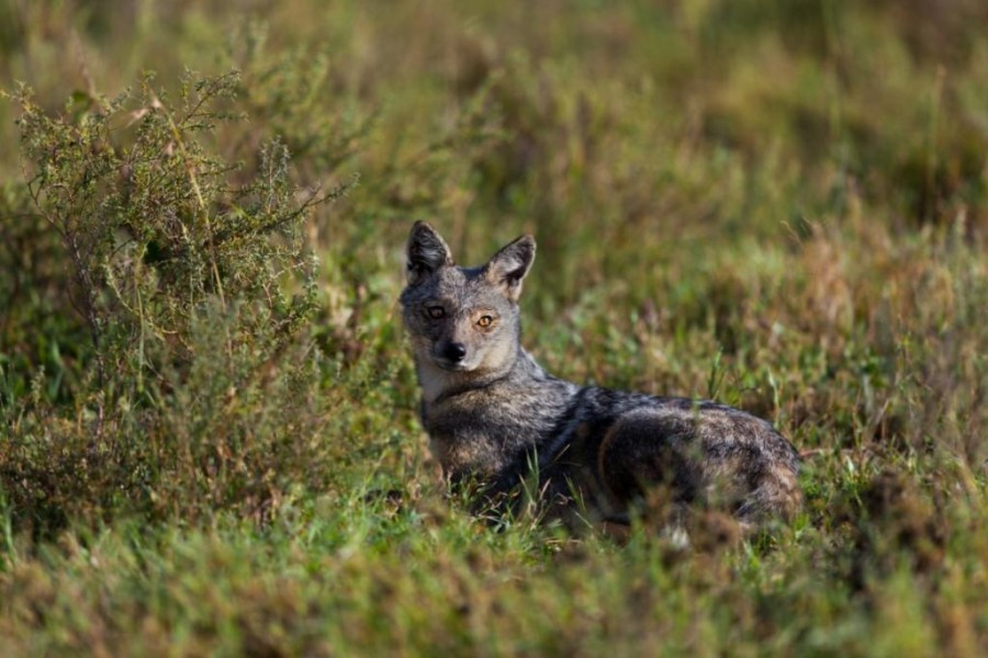Side striped jackal (canis adustus)