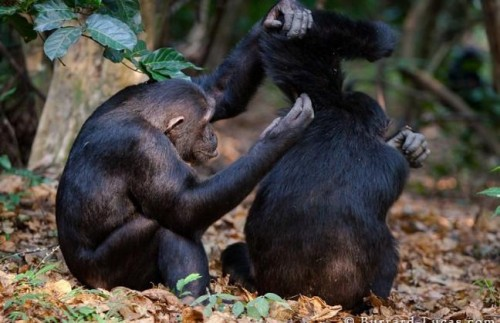 Поход к Шимпанзе в Махали - Маунтинс  - 4 Дня