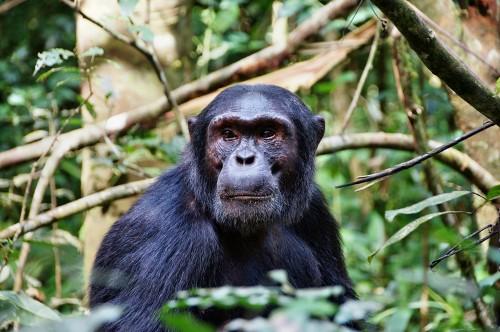 Обыкновенный Шимпанзе (Pan troglodytes)