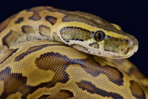 African rock python (Python sebae)