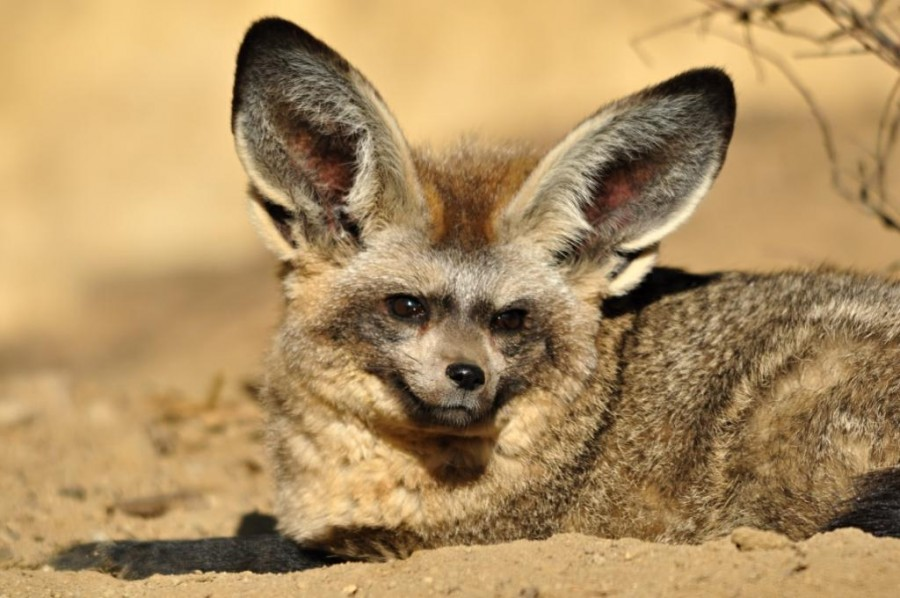 Bat eared Fox (Otocyon megalotis)