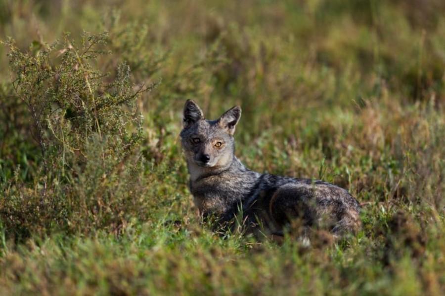 Side striped jackal (canis adustus)