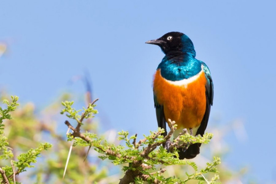 Superb starling bird (Lamprotornis superbus)
