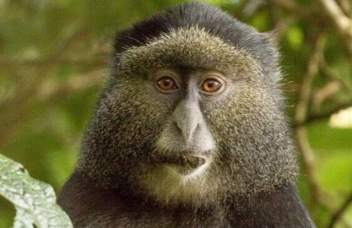 Three Day Gorillas and Golden Monkeys Tour