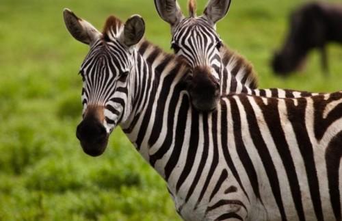 Zebra (Equus burchelii)