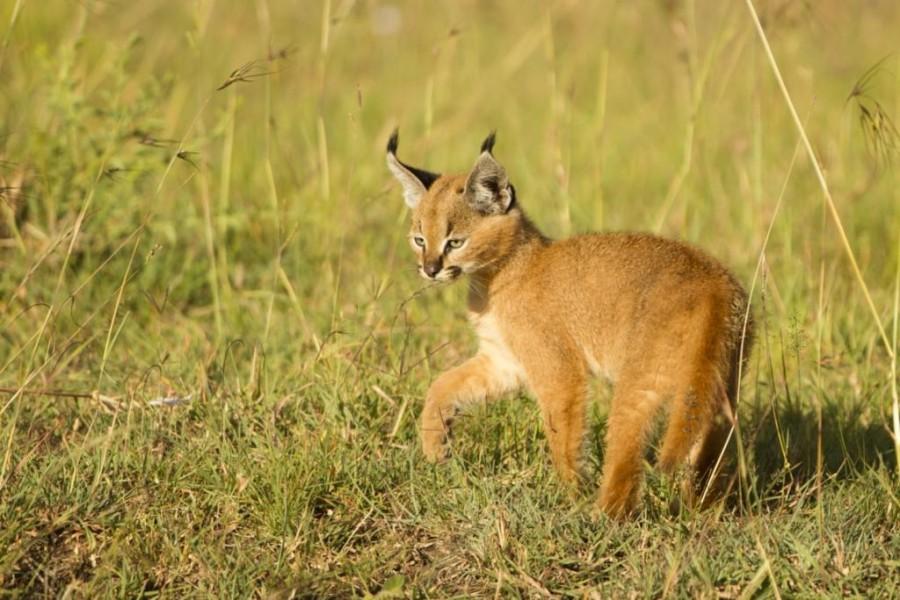 Caracal (Felis caracal)