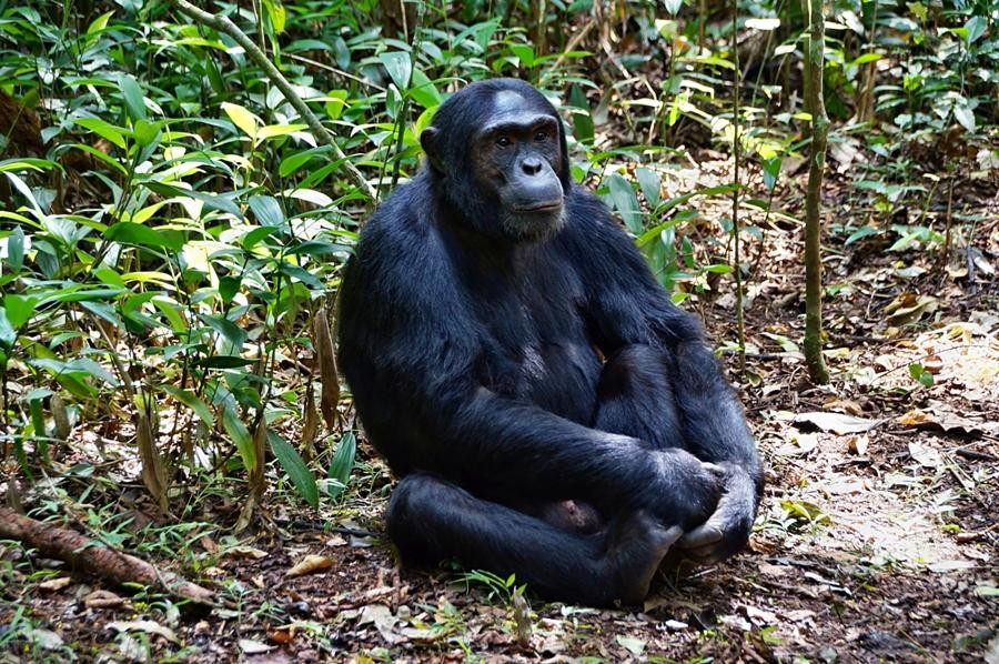 Chimpanzee Habituation Experience in Kibale National Park