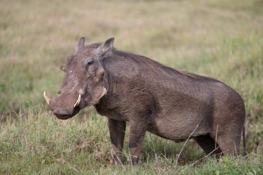 Warthog (Phacochoerus aethiopicus)