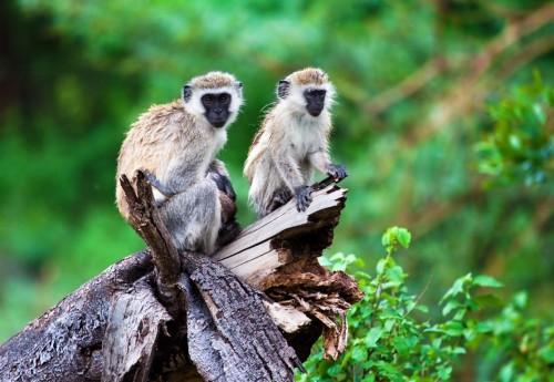 Blak faced Vervet Monkey (Cercopithecus aethiops)