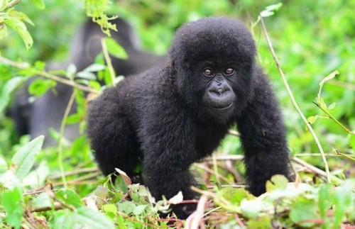 Three Day Rwandan Gorilla Trekking Experience