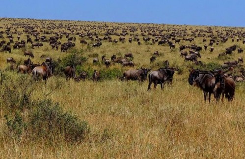Six Day Wildebeest Migration River Crossing Safari (July - October)