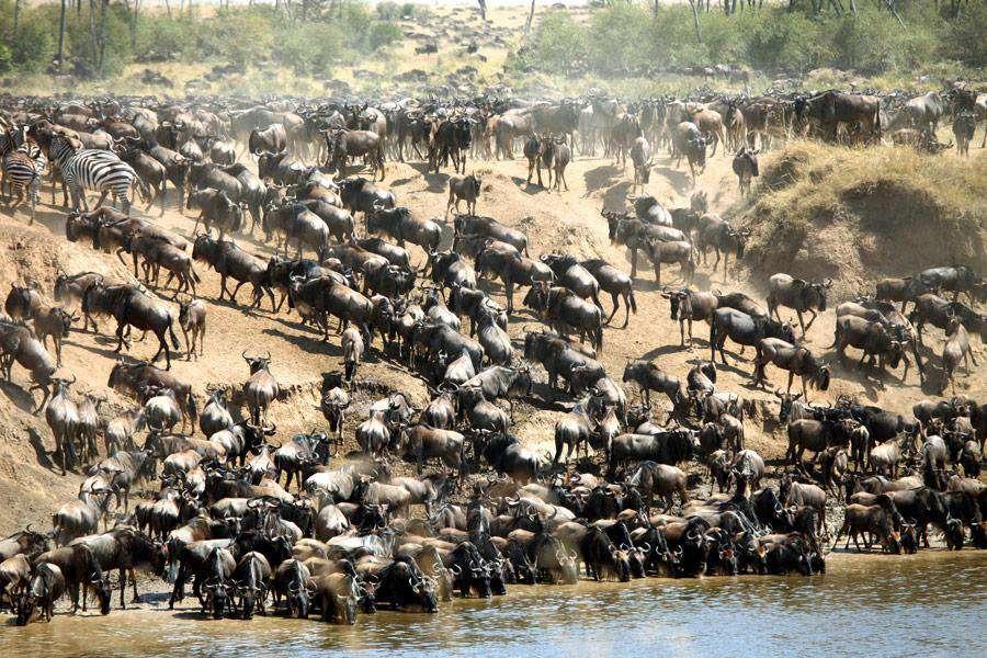 Wildebeest Migration in Tanzania