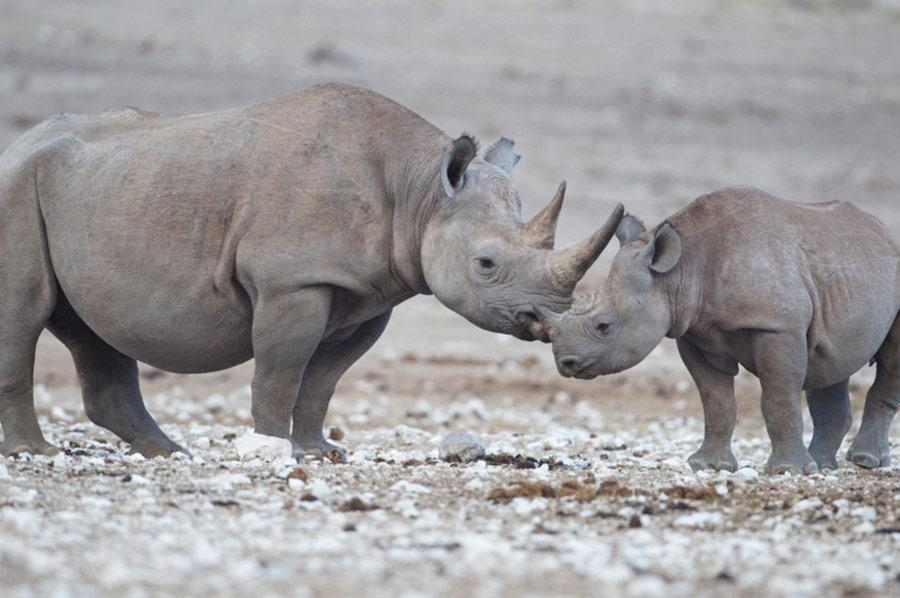 Black Rhinocerous Big 5