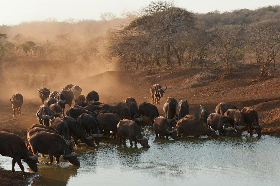 African Buffalo Big 5