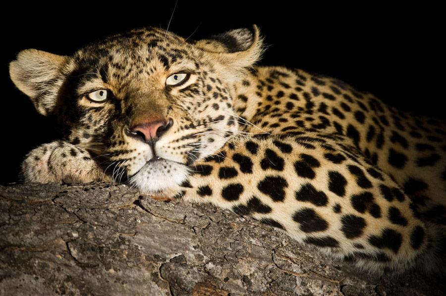 Leopard Big 5